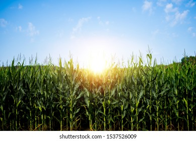 A beautiful shot of a cornfield with the sun shining in a blue sky