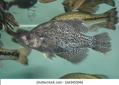 A beautiful shot of a crappie fish in the aquarium tank