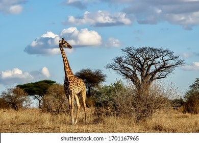 A beautiful shot of a cute giraffe with the trees and the blue sky in the background