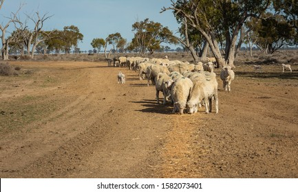 A beautiful shot of a herd of sheep in the desert area