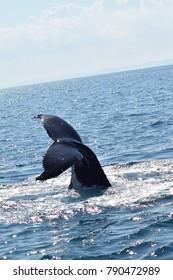 Beautiful shot of a humpback whale tail fin