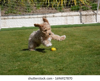 A beautiful shot of our 13 week old golden Cavapoo puppy living in the North West of England. Shot in our back garden on a beautifully sunny day with his favourite yellow ball.