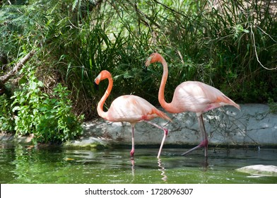 A beautiful shot of two flamingos walking in the water with green grasses in the background