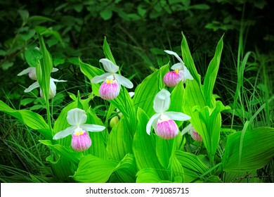 Beautiful Showy Lady's-slipper - Cypripedium reginae - AKA Pink-and-white Lady's-slipper or the Queen's Lady's-slipper - Minnesota State Flower - pink and white on green natural background