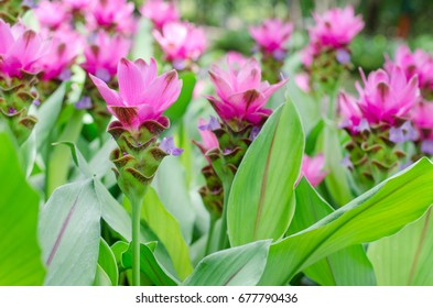 Beautiful Siam Tulip flower, or know by Thai name is 'Dork Krajeaw', over sweet blur background in the garden