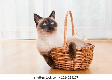 Beautiful Siamese cat in a basket