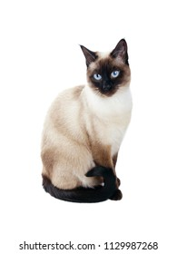 beautiful siamese cat isolated on white background