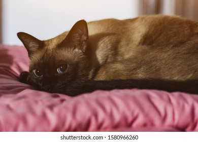 Beautiful siamese cat looking at you