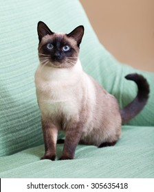 beautiful siamese cat on  couch at home.