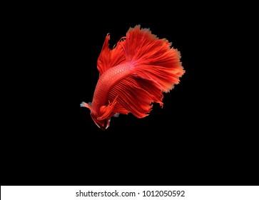 beautiful  Siamese fighting fish,Betta splendens,red tone on black background,isolated.