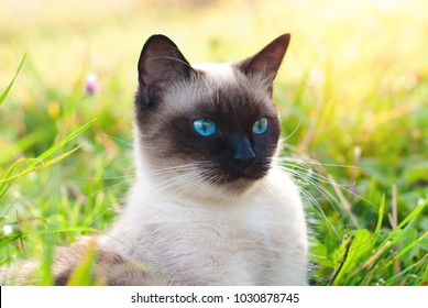 Beautiful Siamese Purebred Cat with Blue Eyes playing in the Green Grass in Summer - Pets Care Concept