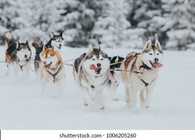 Beautiful Siberian huskies at a dog sledding competition.