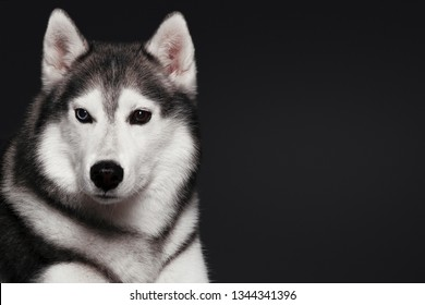 Beautiful Siberian Husky dog with blue and brown eyes, posing in studio on dark background