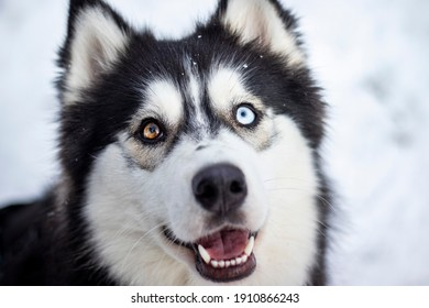 beautiful siberian husky girl loves being outside in the snow, playing, catching snowflakes, being happy,