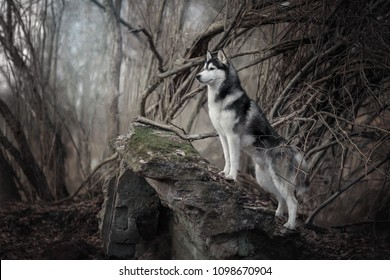 beautiful Siberian Husky in nature