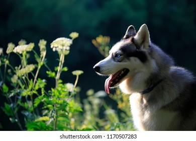 beautiful Siberian Husky in nature