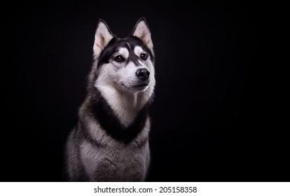 Beautiful siberian husky. Pedigree dog. Beautiful husky dog looking at the camera