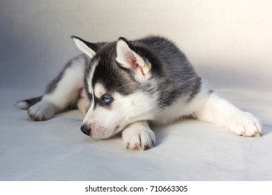 Beautiful Siberian Husky Puppy Cute Dog Stock Photo Edit Now