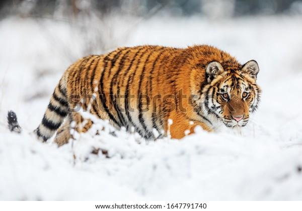 beautiful Siberian tiger Panthera tigris tigris in the nice nature