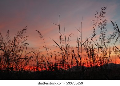 Beautiful silhouette grass flower with the orange sky in the evening