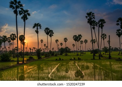 Beautiful silhouette with reflection heart shape of sugar palm trees and rice field with morning sunrise. Rice is export important agriculture in Thailand