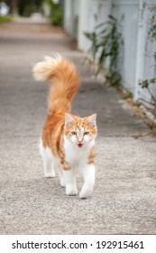 Beautiful silky young ginger and white tabby cat walking down the footpath or sidewalk with his tail upright and meowing