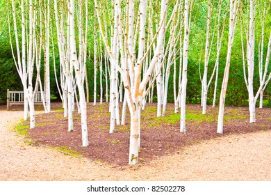 A beautiful silver birch woodland scene