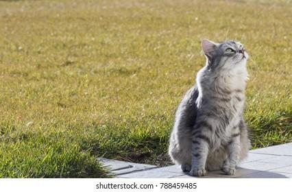 Beautiful silver cat in the garden, siberian purebred female