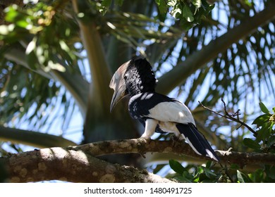 beautiful silver checked hornbill in the tree, jungle Uganda, Africa