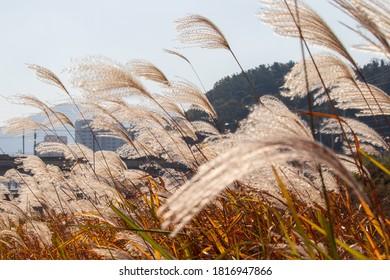 Beautiful silver grass field, autumn landscape.