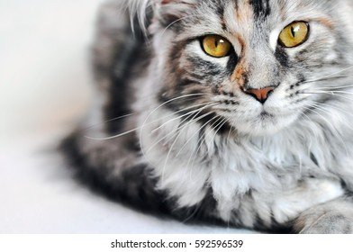Beautiful silver tabby Maine Coon kitten girl with large golden eyes isolated on white.