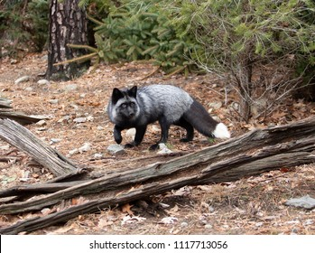 Beautiful Silver Tip Color Morph of the Red Fox