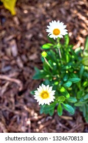 Beautiful simple daisy flowers