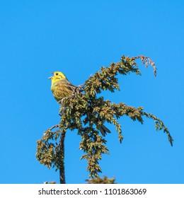 Beautiful singing yellowhammer bird on a juniper twig
