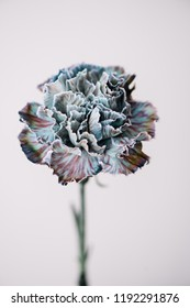 Beautiful single blue carnation close up view