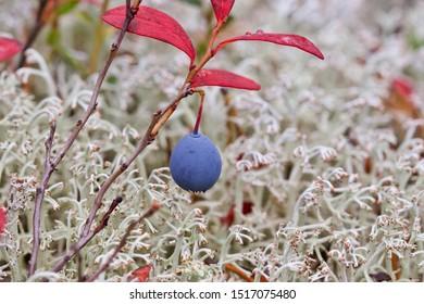 A beautiful single bog blueberry (vaccinium uliginosum) on a twig. Season: Autumn 2019. Location: Western Siberian taiga.