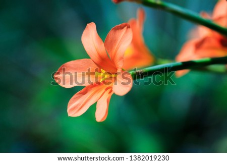 Beautiful single bright orange flower (scarlet pimpernel) on a long green stem with a natural out of focus background