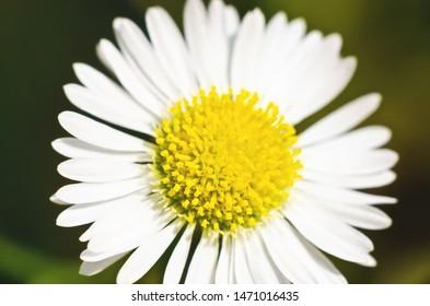 beautiful single daisy flower macro