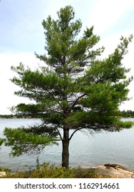 Beautiful single Eastern White Pine { Pinus Strobus } with blue sky, puffy white clouds, and lake background in Georgian Bay, Ontario.
