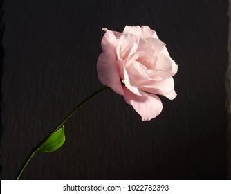 beautiful  single eustoma flower ( rose ) on dark background