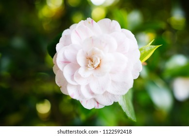 beautiful single flower (camelia japonica)