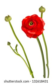 beautiful single flower head. red ranunculus isolated on white background
