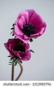 Beautiful single magenta anemone flower on the grey wall background, close up view