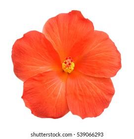 Beautiful single orange hibiscus flower isolated on white