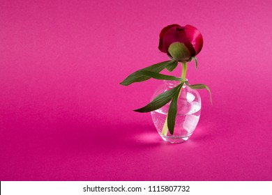 Beautiful single peony flower in vase on dark pink background with copy space.