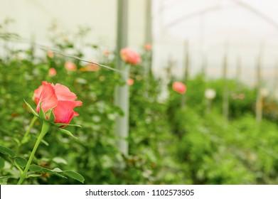 Beautiful single pink rose flower in garden greenhouse in Ecuador