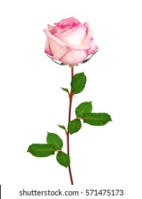 Beautiful single pink rose isolated on white background