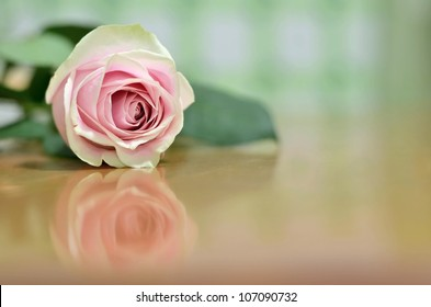 A Beautiful Single Pink Rose with a Shallow Depth of Field (DOF) Lying on a Wooden Table with a Reflection underneath