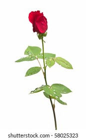Beautiful single red rose covered with drops of rain on isolating background