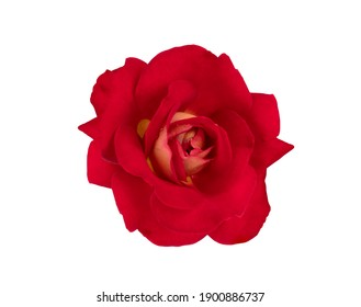 The beautiful single red rose on white background with clipping paths